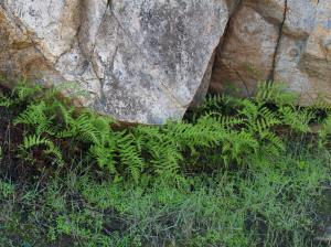 Picture of ferns around boulders